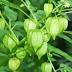 Khasiat tanaman Ciplukan Dapat Mengobati Darah Tinggi Hingga Melawan Kanker