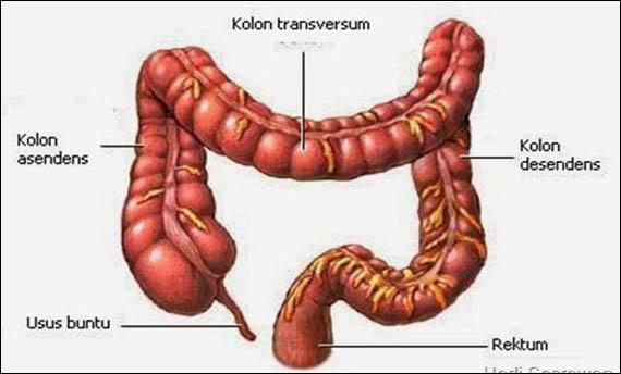 Organ Pencernaan Manusia - Usus Besar