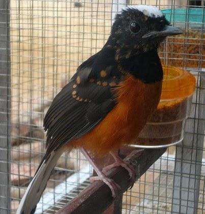 Daftar Harga Burung Murai Batu Bulan Pebruari  Daftar Harga Burung Murai Batu Bulan Pebruari 2018