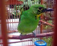 Burung Cucak Ijo Trotol Jaminan Jantan Bodi Kecil