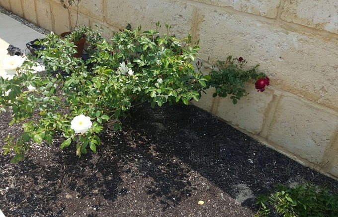 Baba's Leela For Red Roses From White Rose Plant