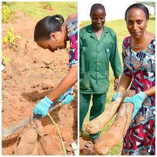 Vice President's Wife;Mrs Dolapo Osinbajo Pictured Harvesting Yam In Her Backyard 1