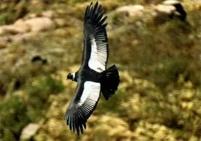 Foto de un cóndor volando