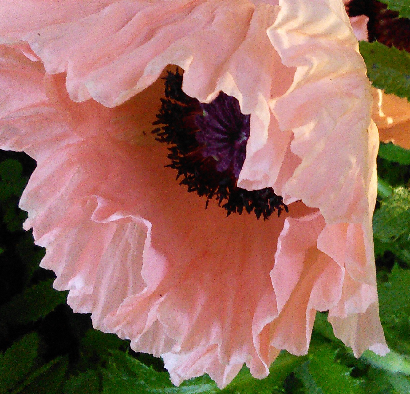 In The Garden Oriental Poppy And A Few Other Flowers