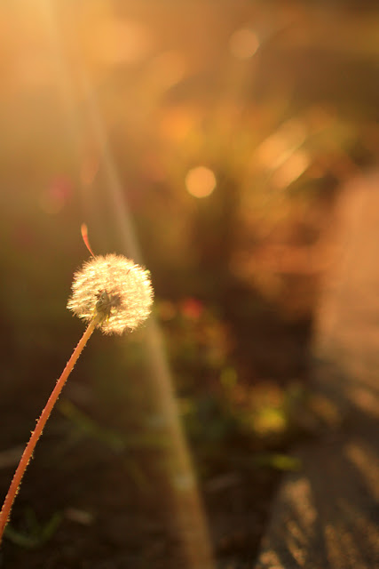Dandelion - Make a Wish in the Morning Sun - Nature Photography by Mademoiselle Mermaid