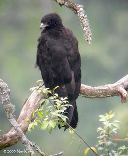77+ Gambar Burung Elang Yang Ada Di Indonesia HD Terbaru