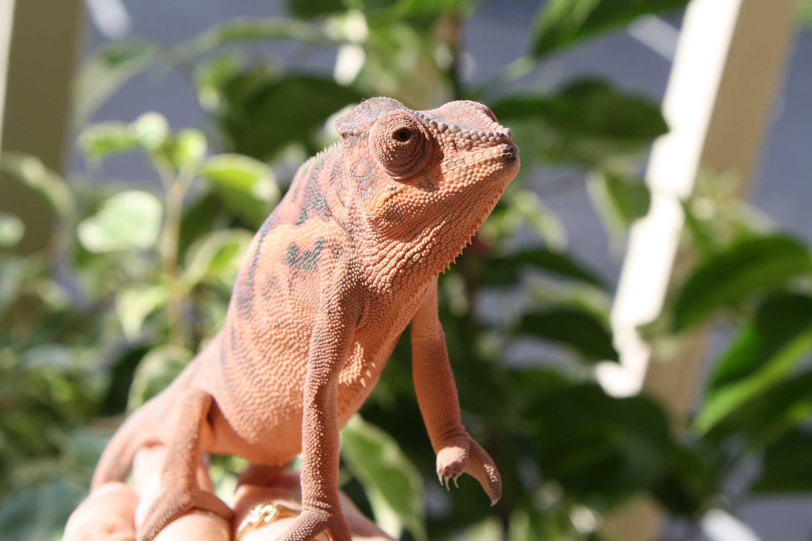 The Importance Of Uvb Light And Sunshine Much Ado About Chameleons