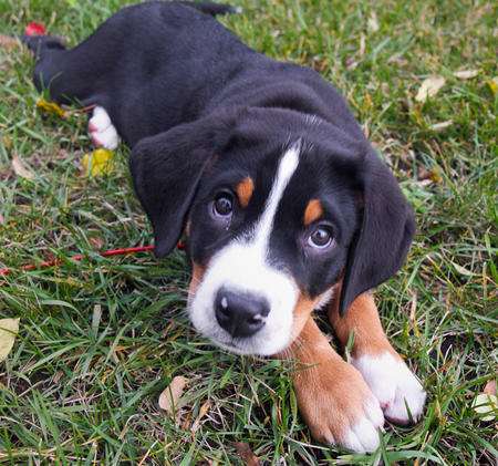 Greater Swiss Mountain Dog Photos and Information | FallinPets