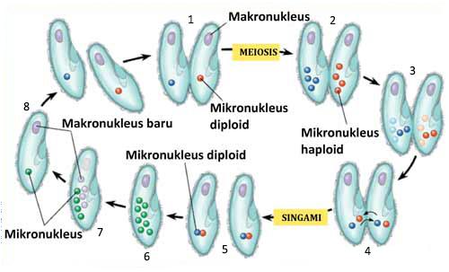 konjugasi paramaecium