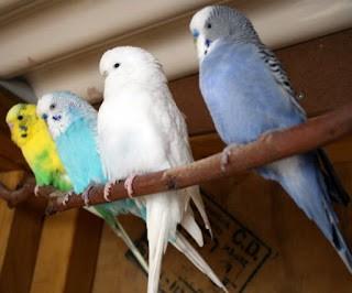 Ciri ciri induk burung parkit berkualitas