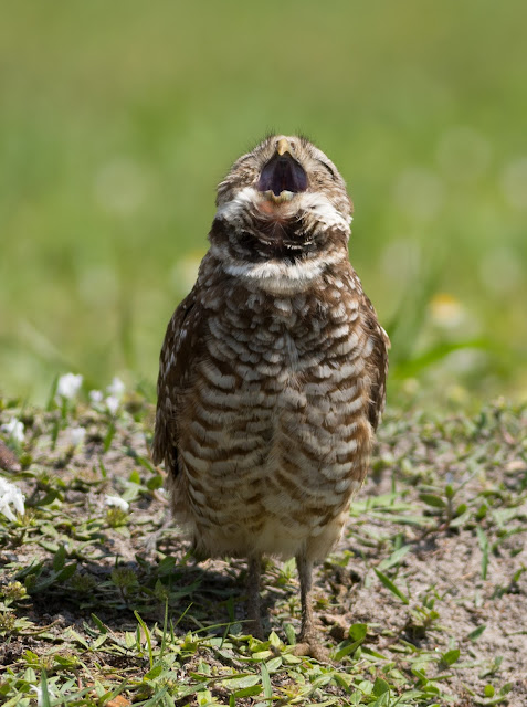 Burrowing Owl - Brian Piccolo Sports Park, Florida