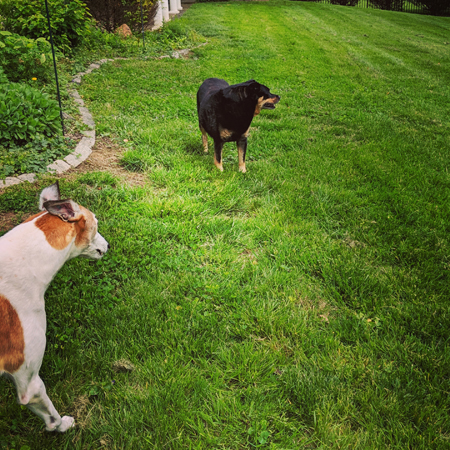 image of Zelda the Black and Tan Mutt standing in the yard looking in the opposite direction of Dudley the Greyhound, who is seen just running into frame