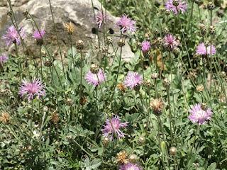 Centaurée élégante - Psephellus bellus - Centaurea bella