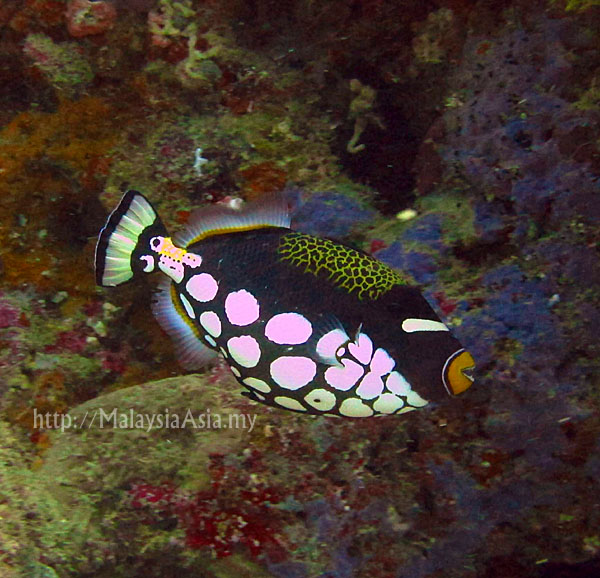 Sipadan clown triggerfish