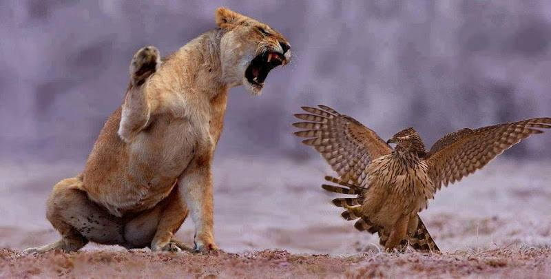 Wildlife lion vs Eagle