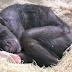 في مشهد مؤثر، أنثى شامبانزي على فراش الموت تتعرف على العالم الذي اعتنى بها منذ 1972