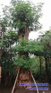 Tukang Taman Surabaya Jual Pohon Pule