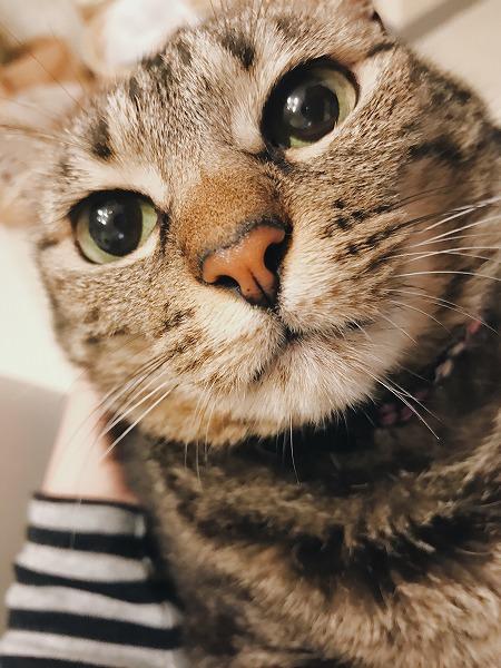 ピンクのお鼻に潤んだ瞳が可愛すぎるキジトラ猫