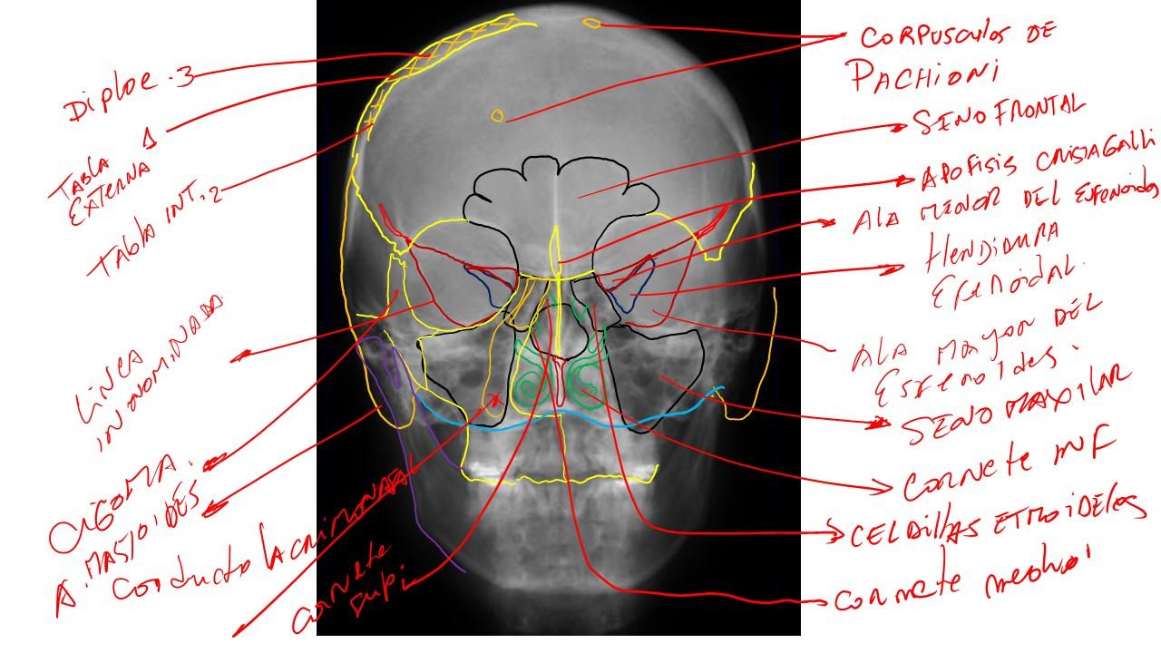 Hermosa Cráneo Anatomía Fotos Motivo - Anatomía de Las Imágenesdel ...