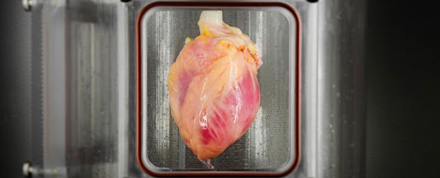 Scientists have full-grown a first-of-its-kind Functional Heart Muscle from Stem Cells