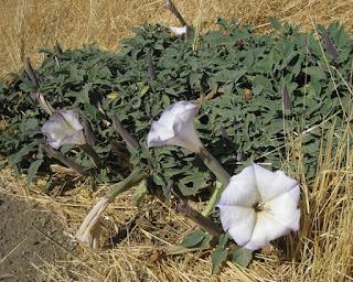 Calystegia purpurata ssp. purpurata, morning glory flowers along Panoche Road, Panoche Valley, California