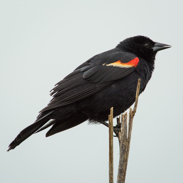 Red-winged Blackbird, Anahuac NWR