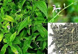 khasiat sambiloto sebagai tanaman obat herbal asam urat
