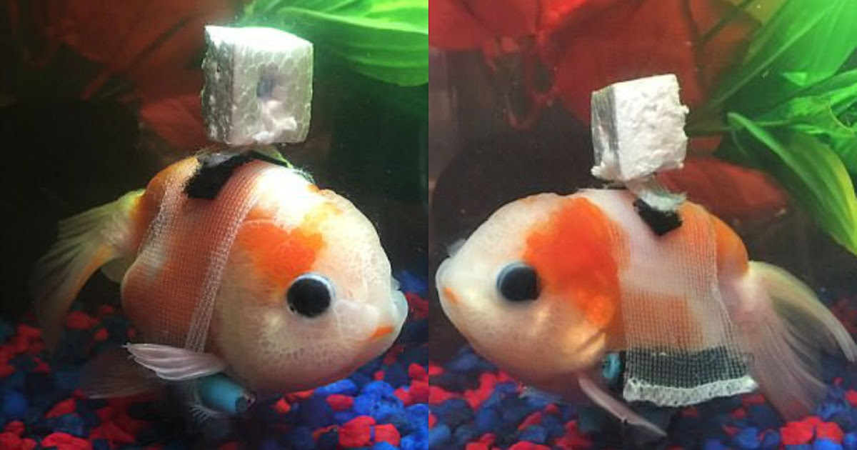 Goldfish With An Incurable Bladder Disease Gets A