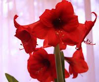 The Red Amaryllis - How to get rid of the winter blues, All Pretty Things