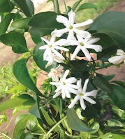 Jasmine flower.