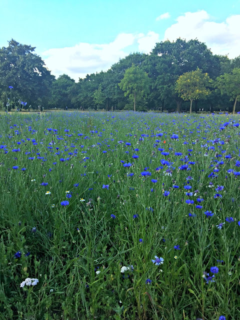 Mid-Summer Meadow of Cornflower Blue ...
