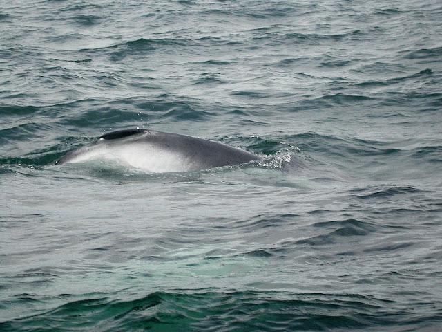 baleine à bosse Megaptera novaeanglicae