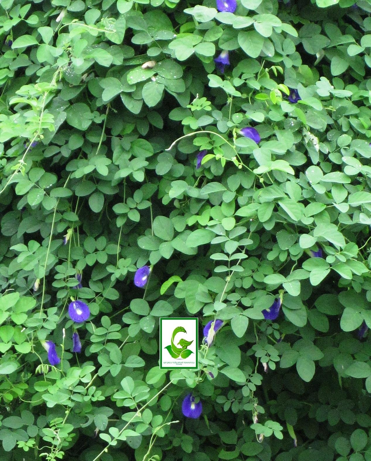 butterfly blue pea clitoria ternatea bunga telang