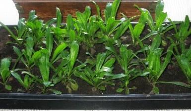 Trồng rau răng cưa trồng chậu nhựa đen