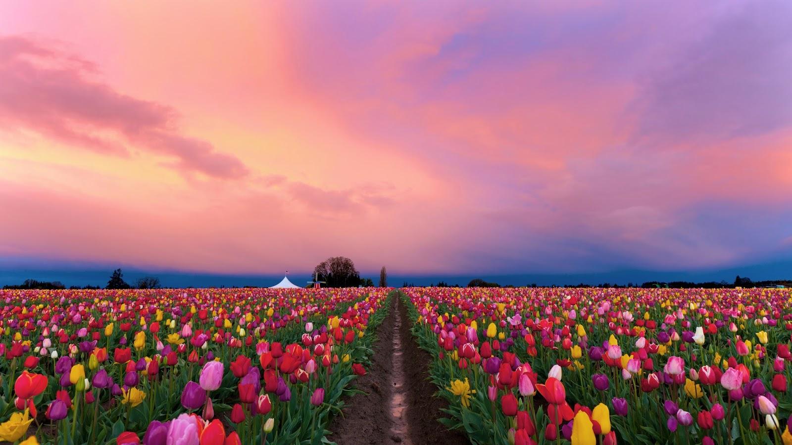 Daffodils Wallpaper Hd Nature God S Creation