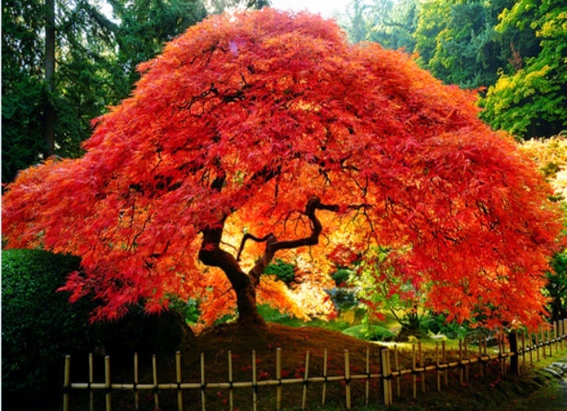 Arboles hermosos fotos de naturaleza animales paisajes for Arbol de frutos rojos pequenos