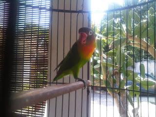 lovebird bulunya rontok
