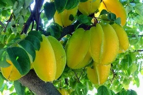 las propiedades de la fruta carambola