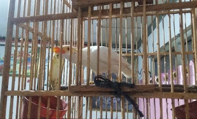 Foto Burung Beo Putih Albino Harga Ratusan Juta Pasar Pramuka Jakarta