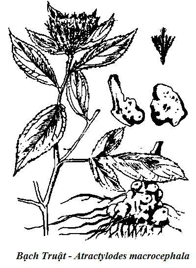 Hình vẽ Bạch Truật - Atractylodes macrocephala - Nguyên liệu làm thuốc Chữa Bệnh Tiêu Hóa