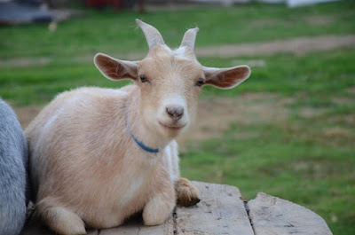 Outfoxing Goats, shared by Oak Hill Homestead at the Clever Chicks Blog Hop