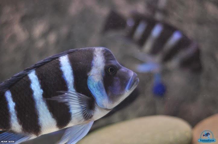 Frontoza balıklarının farklı türleri yaşamı ve bakım
