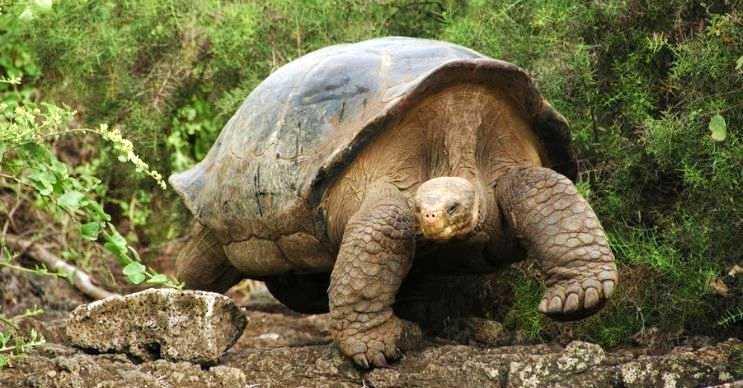 Büyük başlı kaplumbağa ya da bilinen diğer adıyla galapagos kaplumbağası son derece dost canlısıdır.