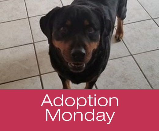 Adoption Monday: Diamond, Rottweiler, Killeen, TX