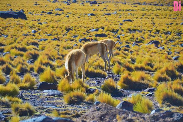 Vicunhas na Rota do Deserto do Atacama