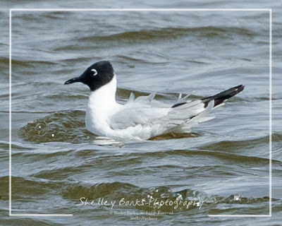 Bonaparte's Gull. Copyright © Shelley Banks, all rights reserved