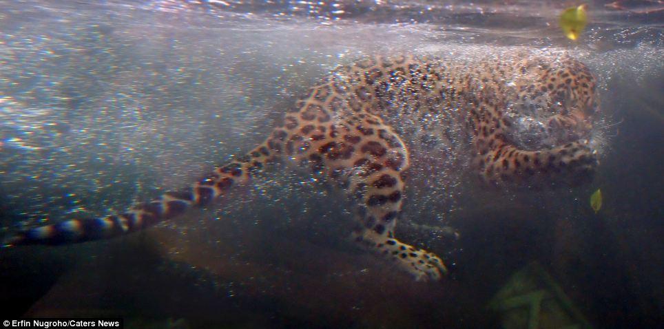jaguar swimming pool - photo #36