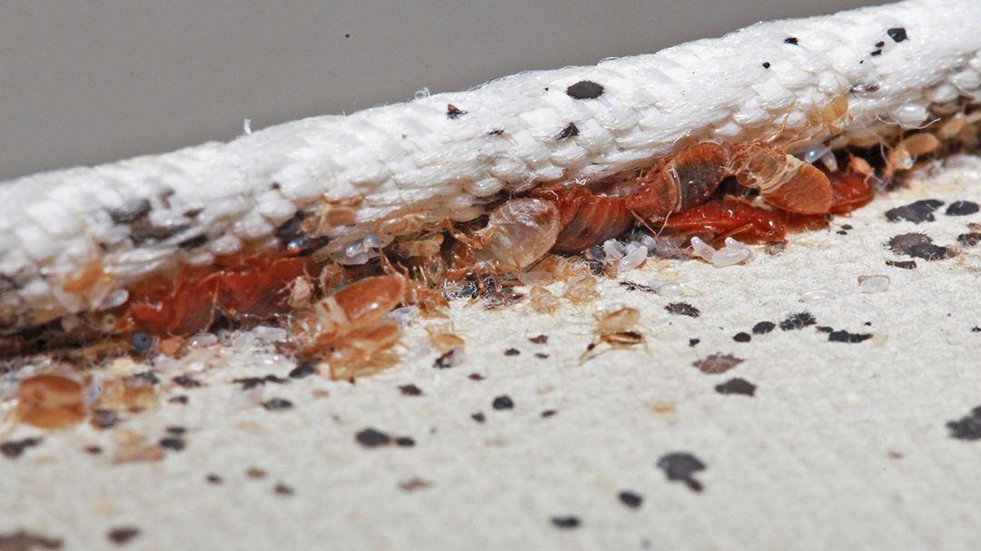 Are Bed Bugs Worse Than Lice