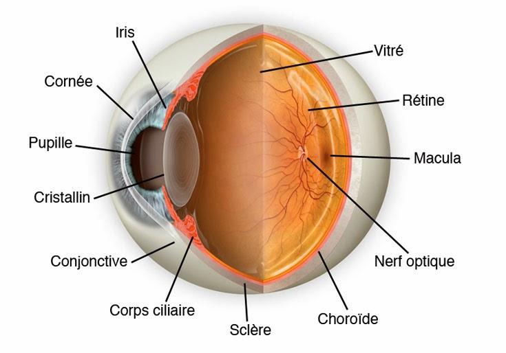 L'œil composants et La structure