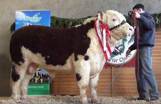 Ciri ciri Sapi Hereford dan Keunggulan Sapi Hereford, pakan sapi hereford